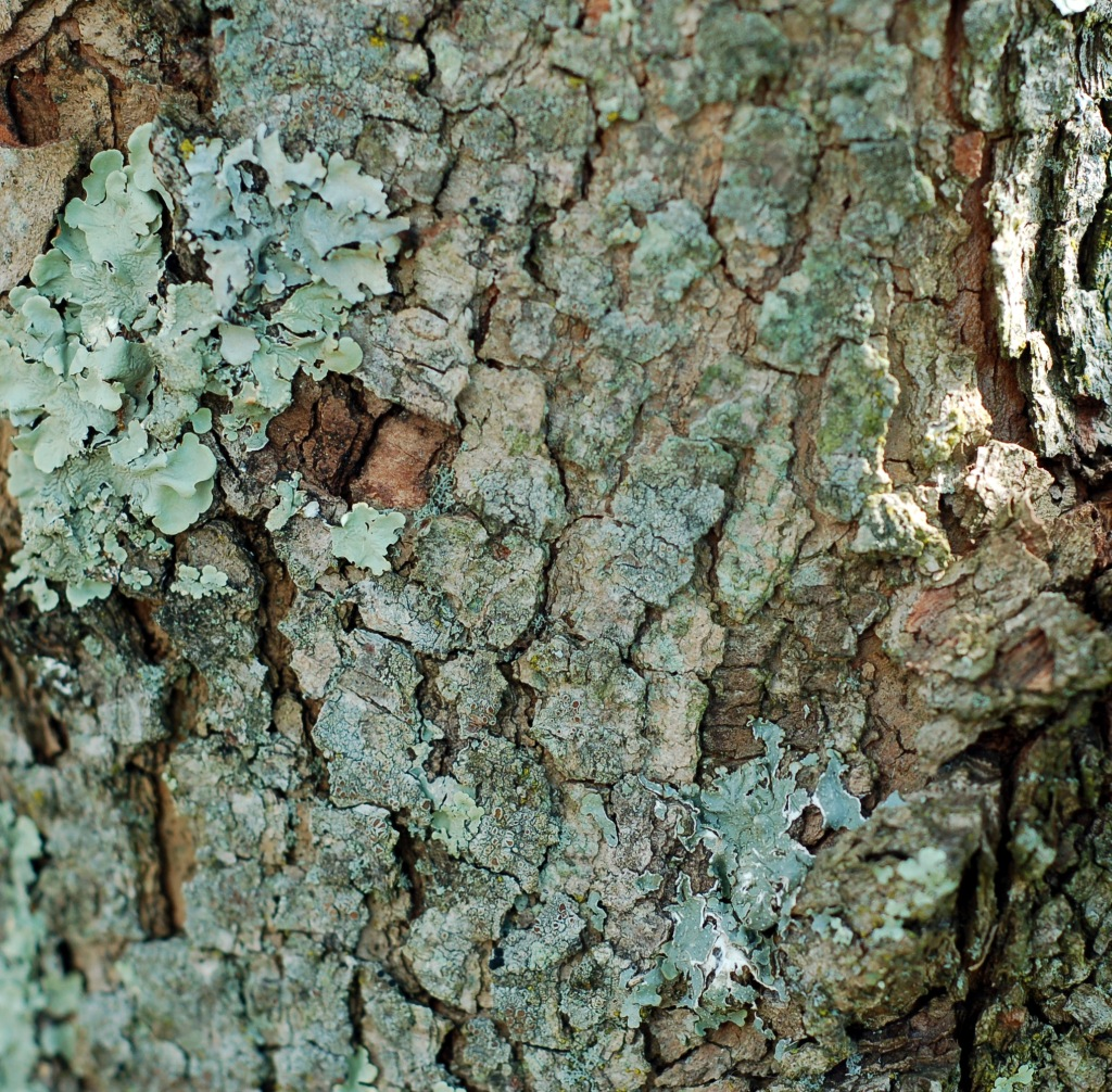 Dogwood bark and lichen