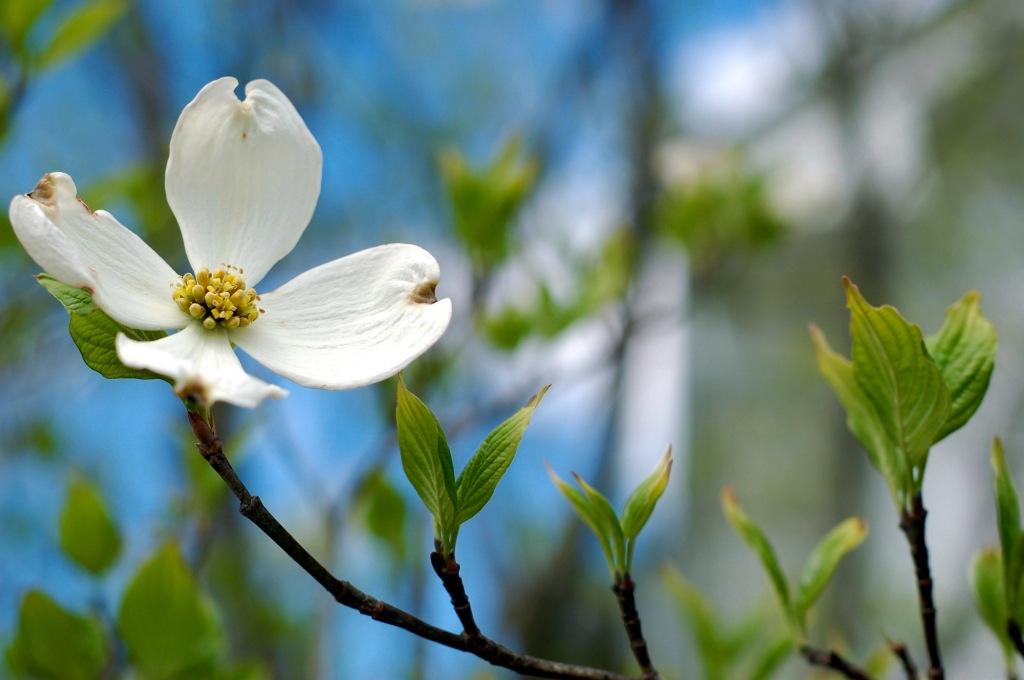Flowering dogwood, bright