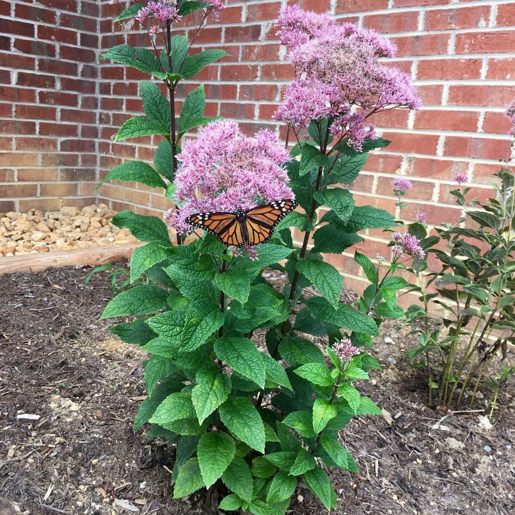 monarch-on-joe-pye_0056