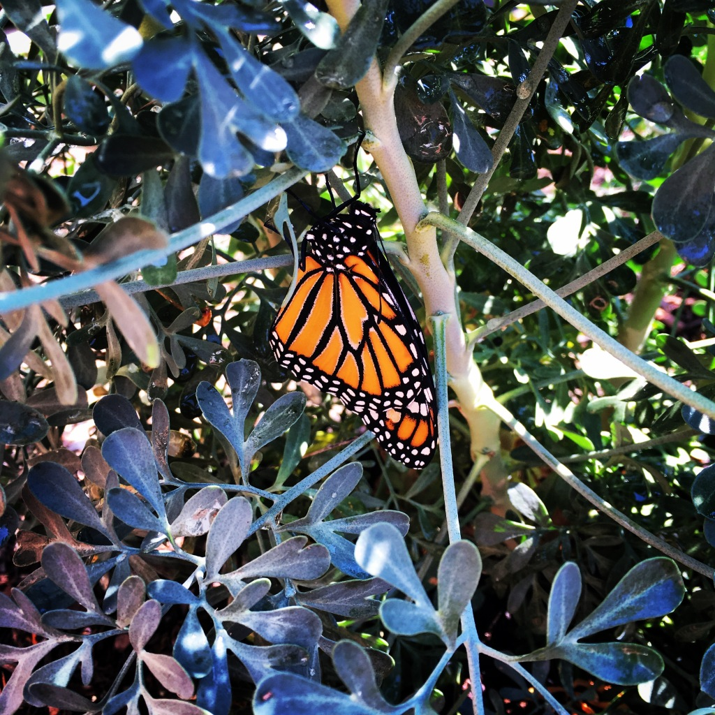newly-emerged-monarch