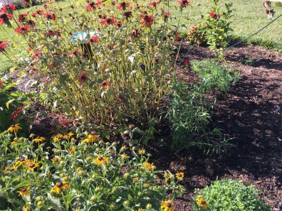 Transplanted goldenrod, dill, and spent bee balm