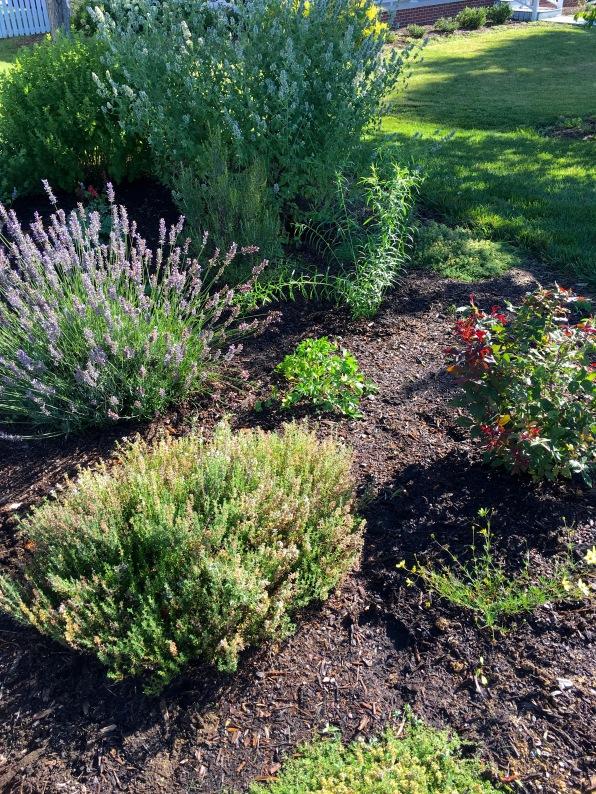 Goldenrod in herb garden