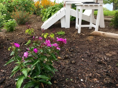 New phlox in the ground