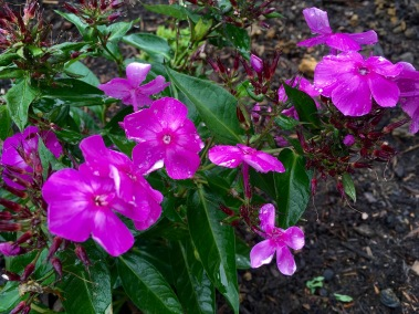 Phlox flowers after planting and watering