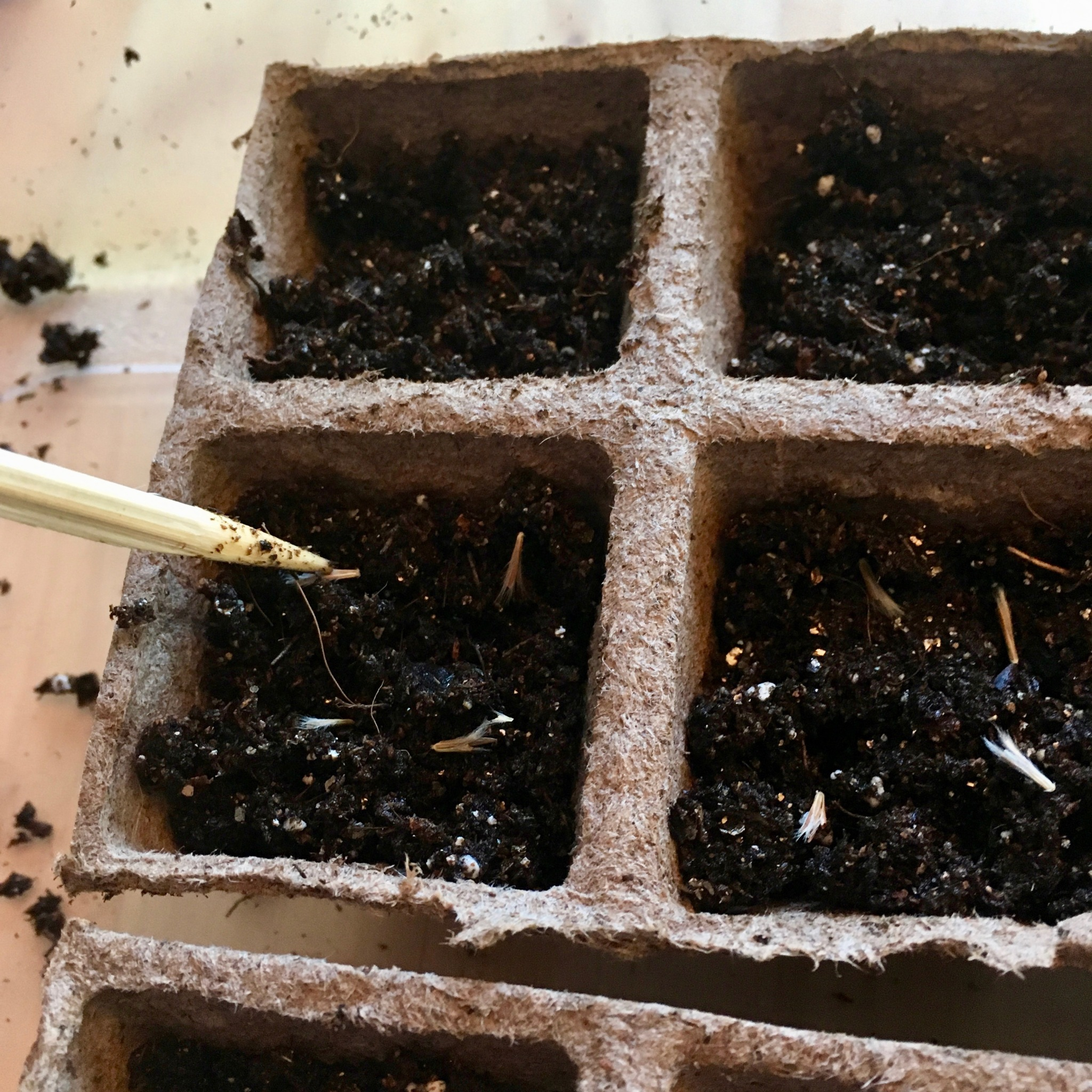 poking bluestem seeds into soil