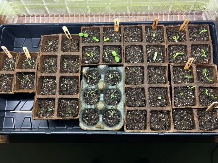 All the sprouts! Bluestem grass, violas, Scabiosa, Mexican sunflower, grape tomatoes, better bush tomatoes