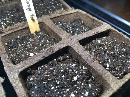 Mar9: first grape tomato sprouts