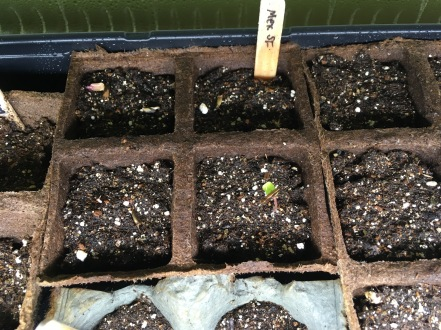 Mar9: first Mexican sunflower sprout