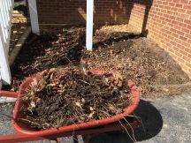 Second wheelbarrow of mint roots