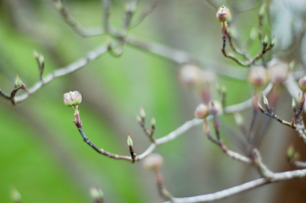 dogwood flower bud (1)