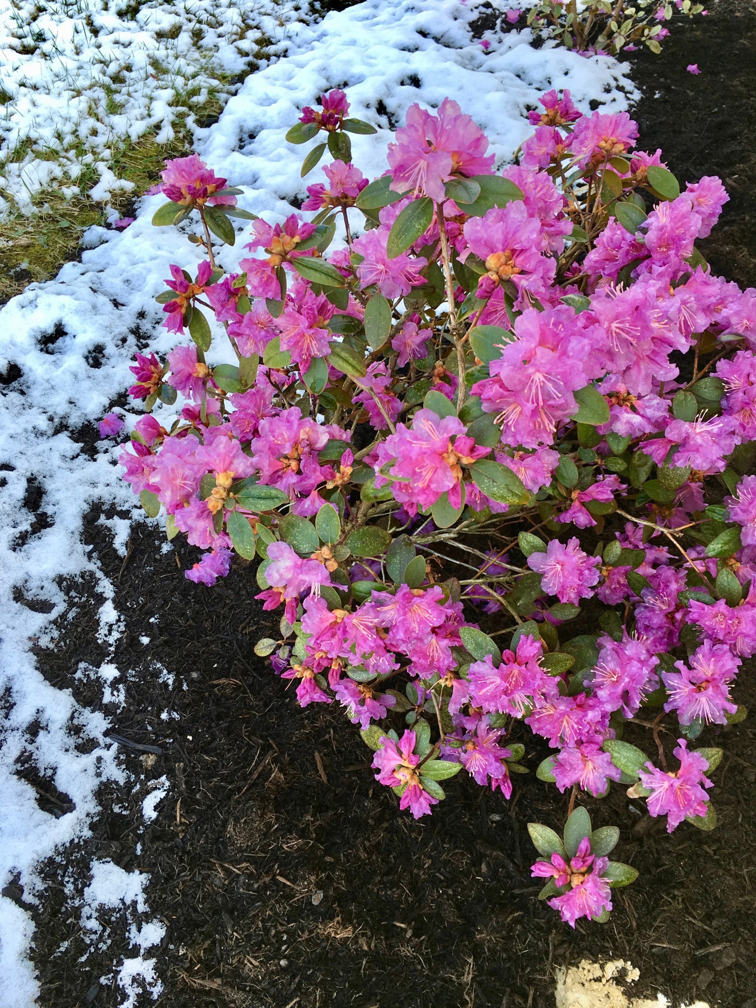 rhododendrons and snow apr 8