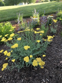 Yarrow in front bed