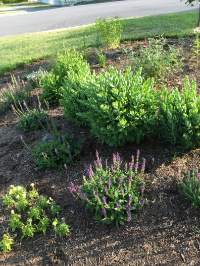 Salvia, sedum, butterfly bush out front