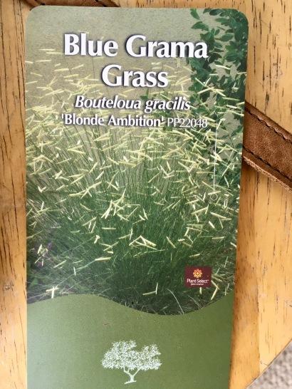 May 10 Blue Grama Grass
