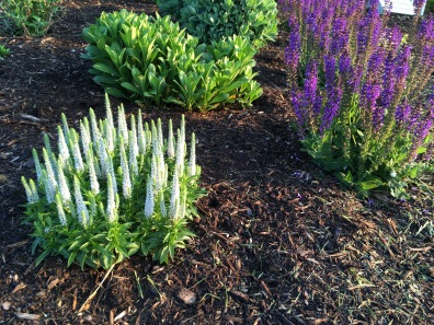 White veronica and indigo Salvia in bloom
