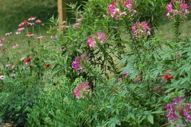 Cleome in back bed
