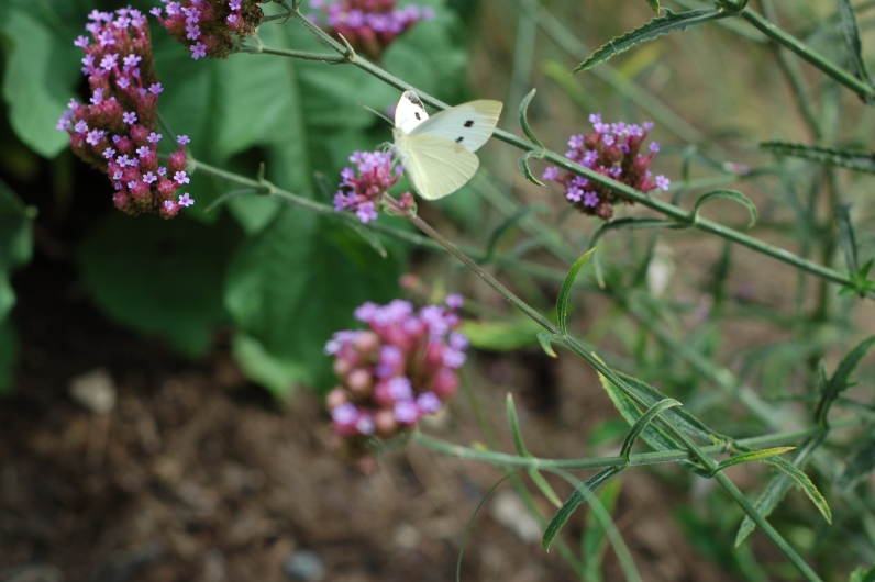 Cabbabe white butterfly on purple top verbena