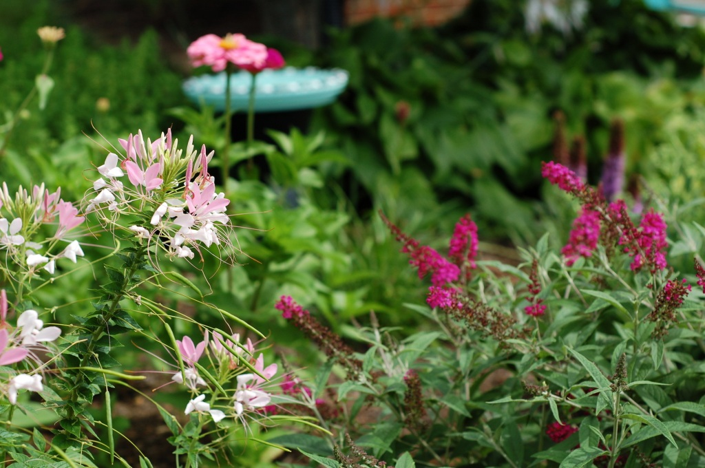 front cleome zinnias bird bath and butterfly bush 22