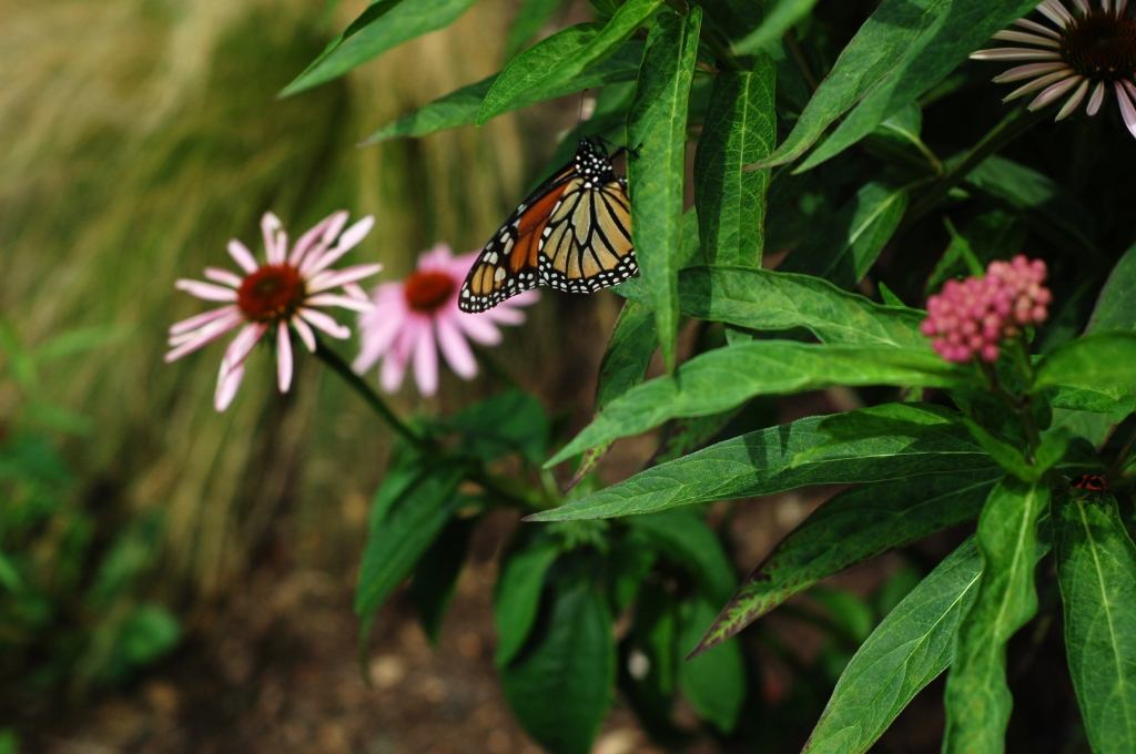 monarch milkweed echinacea 57