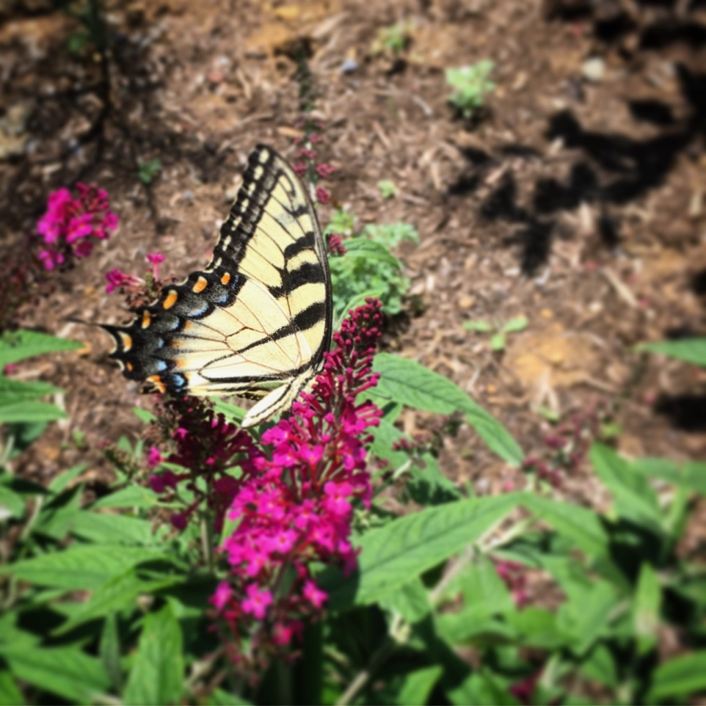tiger swallowtail on butterfly bush