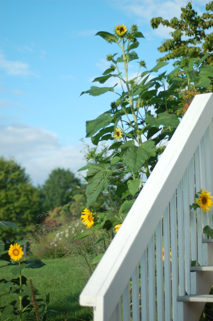 tall sunflowers_0101
