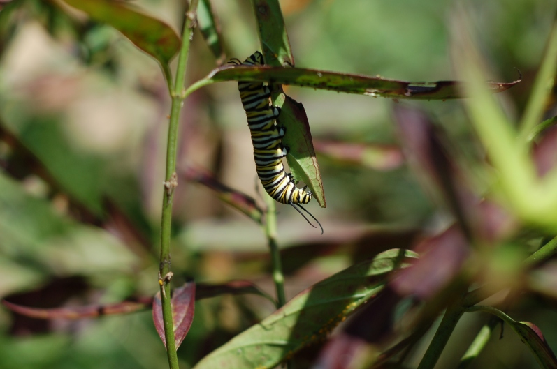 Monarch caterpillar munching