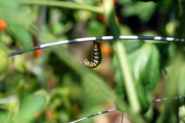 Monarch caterpillar in the process of making a chrysalis