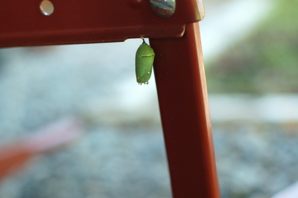 Chrysalis on overturned wheelbarrow