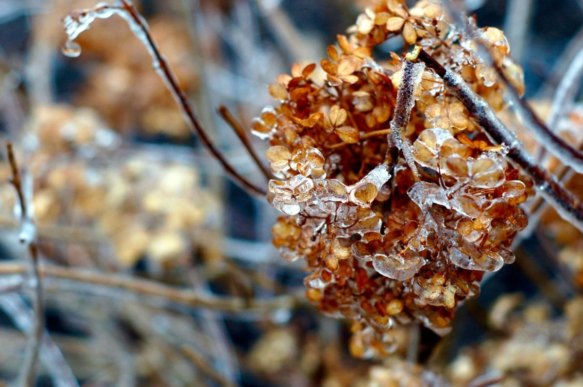icy hydrangea_0001 (1)