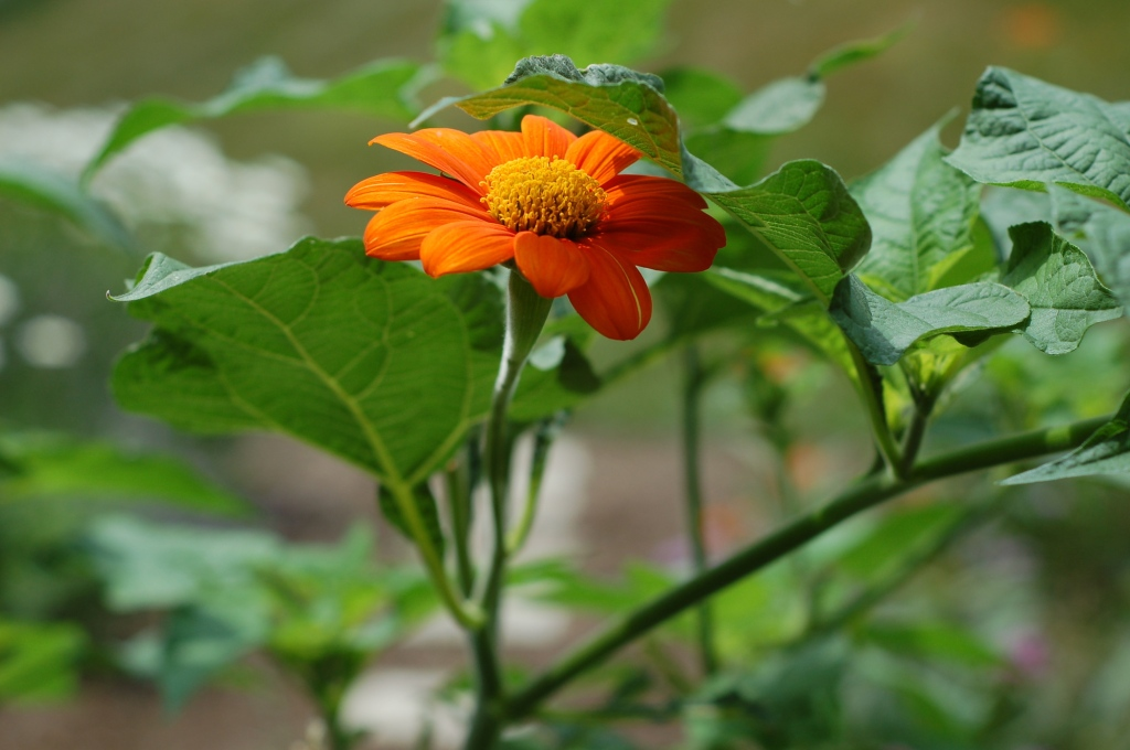 mexican sunflower 55