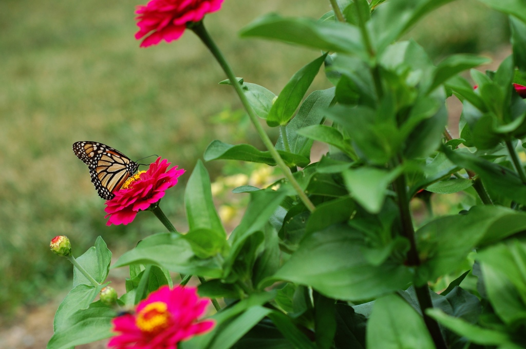 monarch on zinnia 77