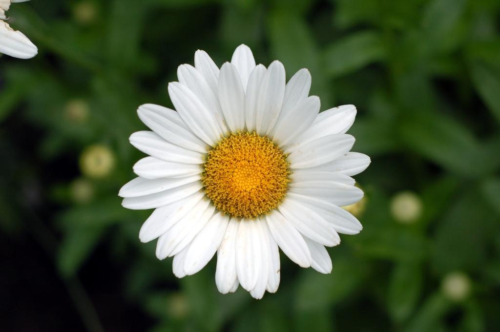 shasta daisy 44