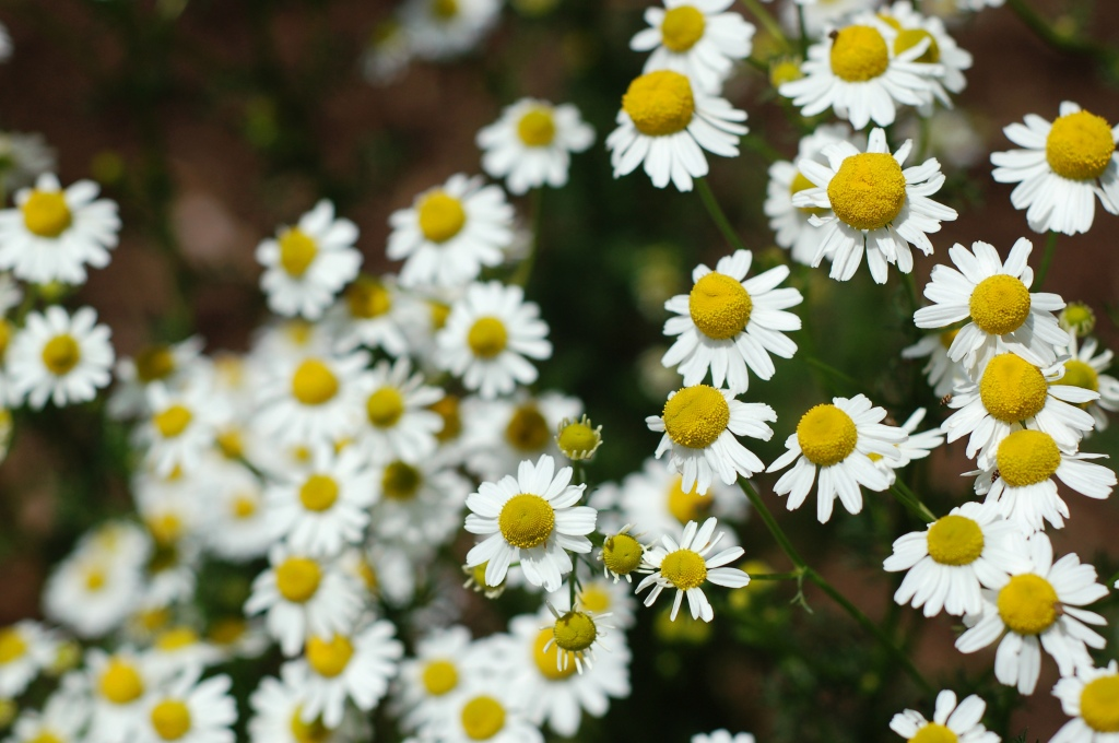 chamomile in bloom59