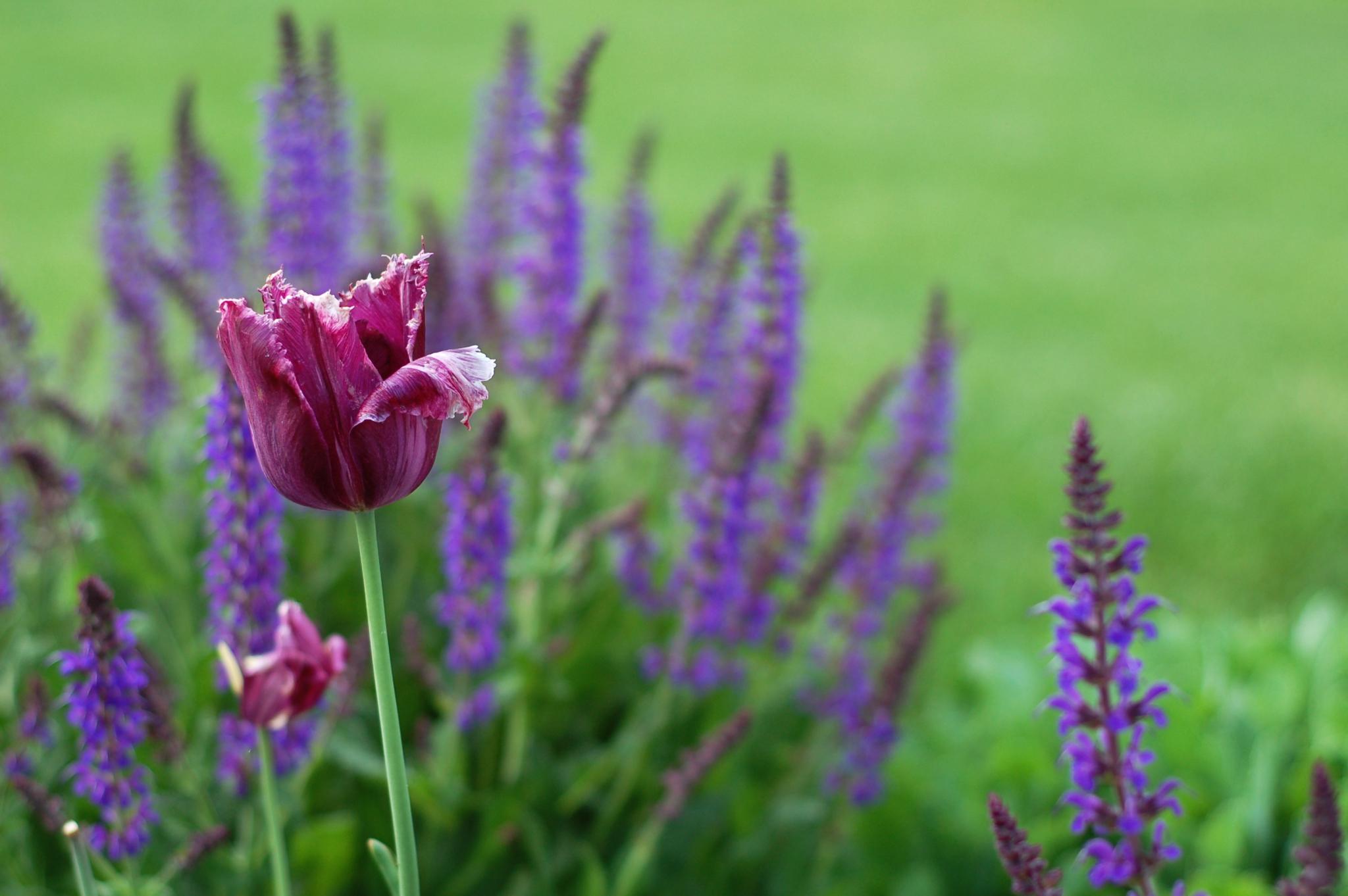 purple tulip and indigo salvia13