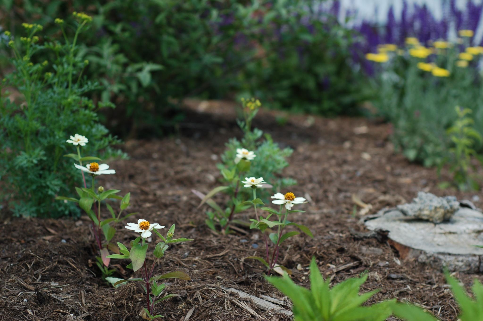white zinnias34