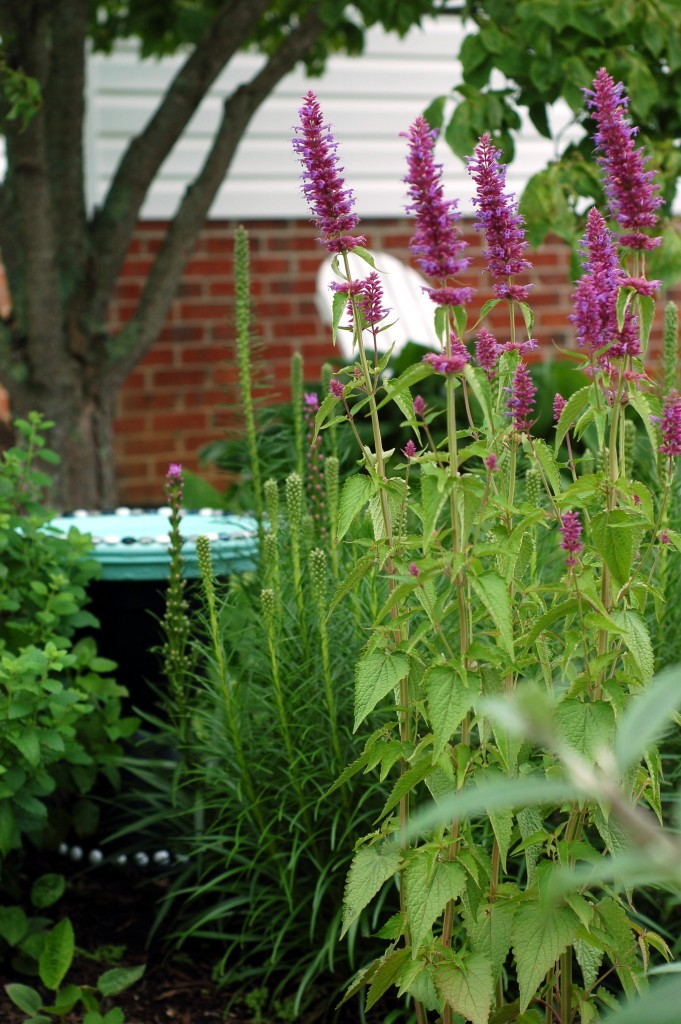 agastache and liatris June 9_0015