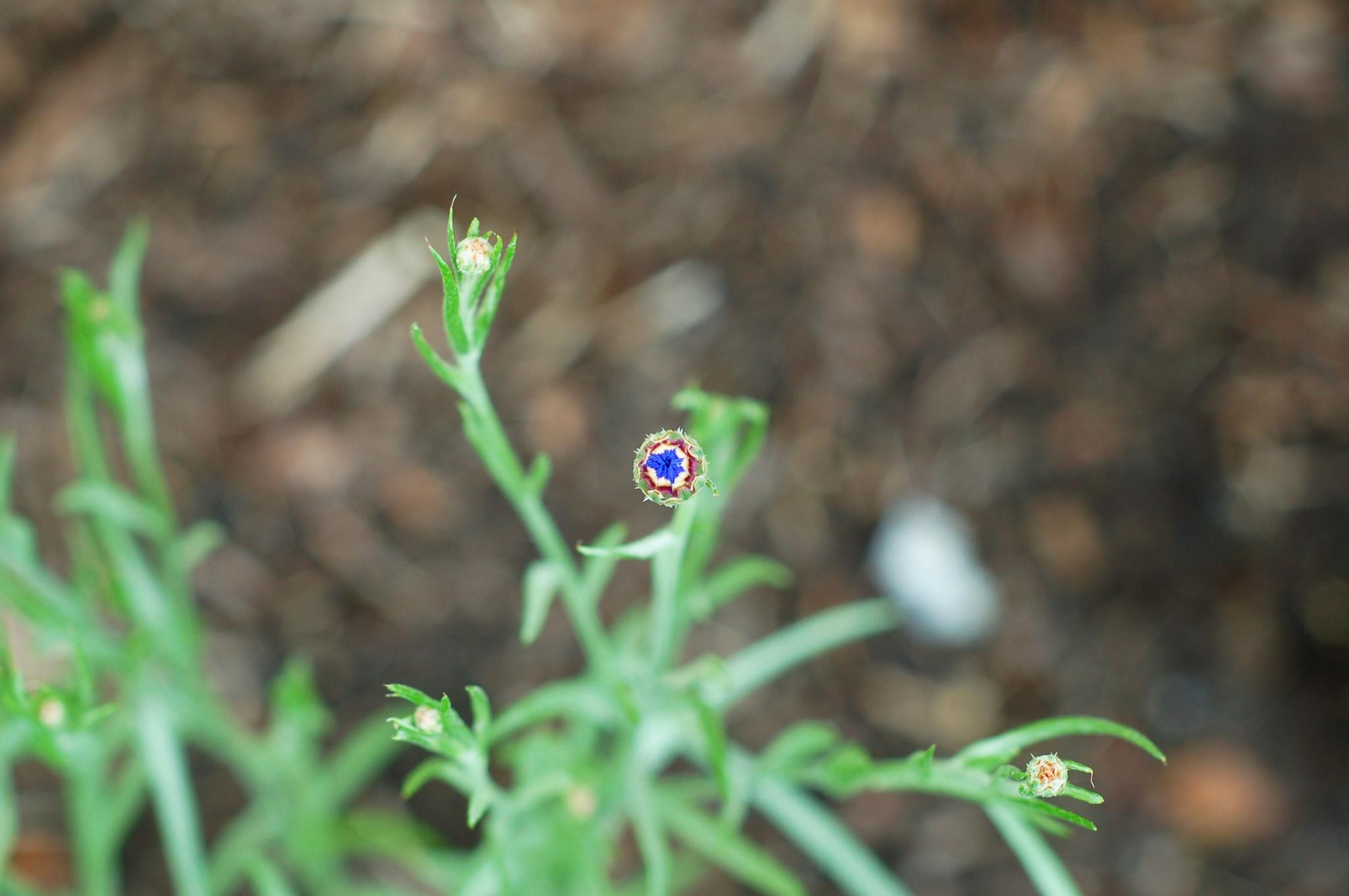 cornflower bud June 9_0014