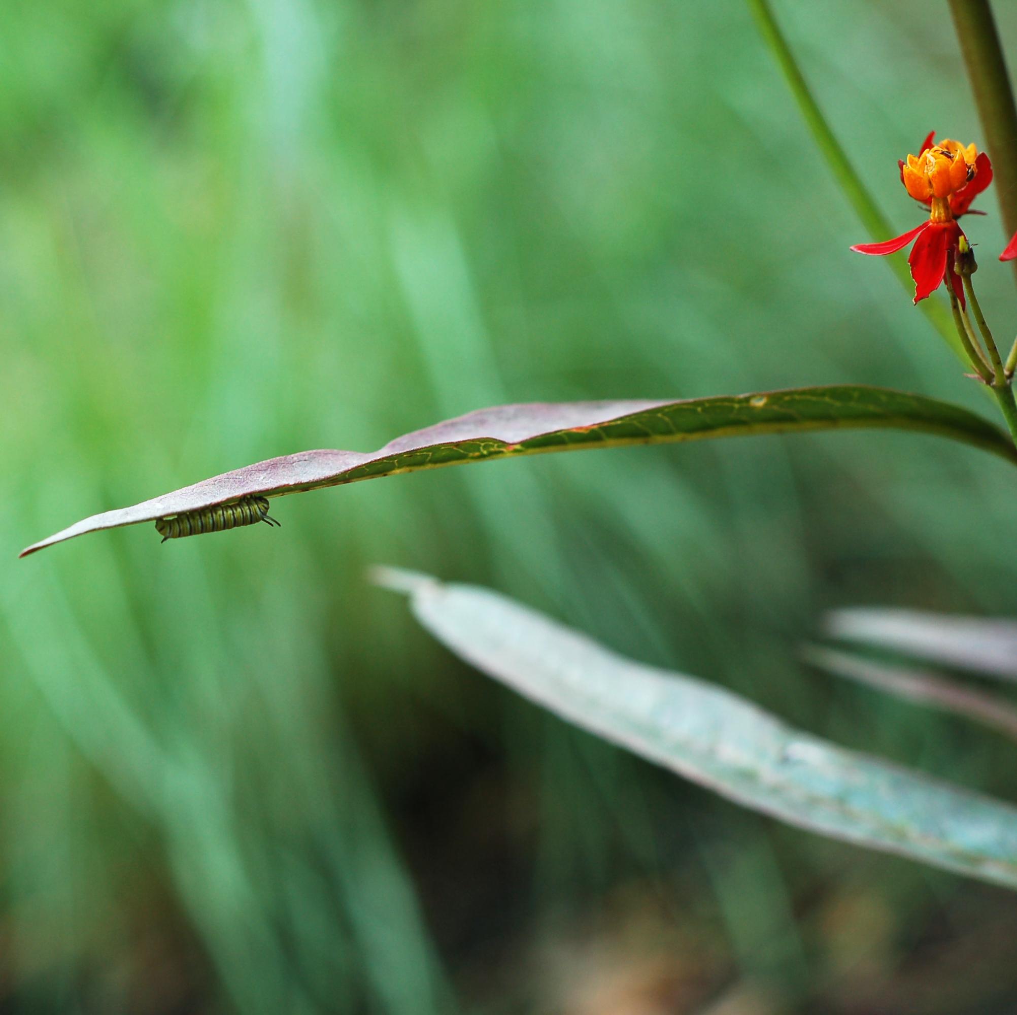 monarch caterpillar june 9_0002