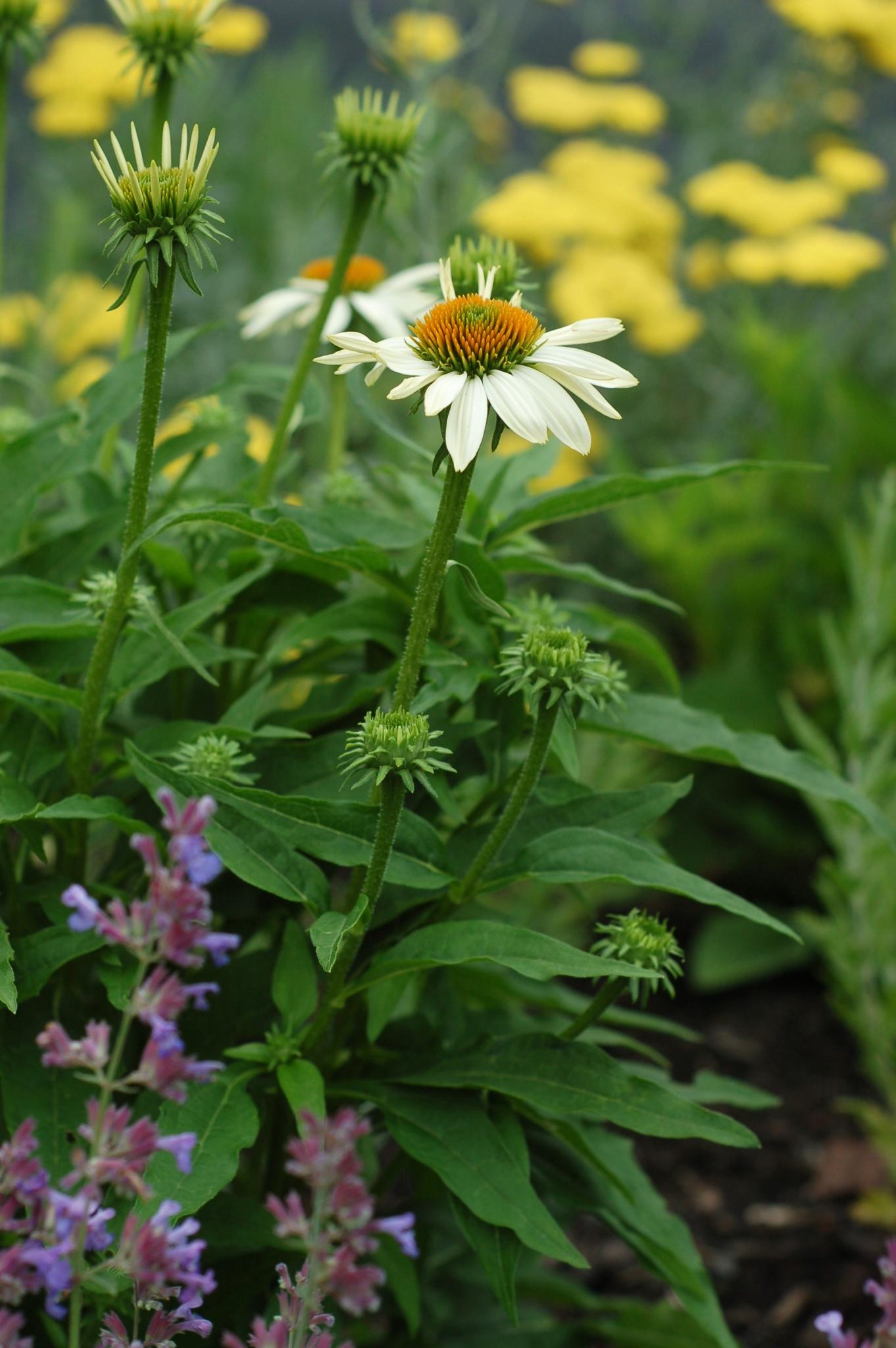 white coneflower front June 9_0020