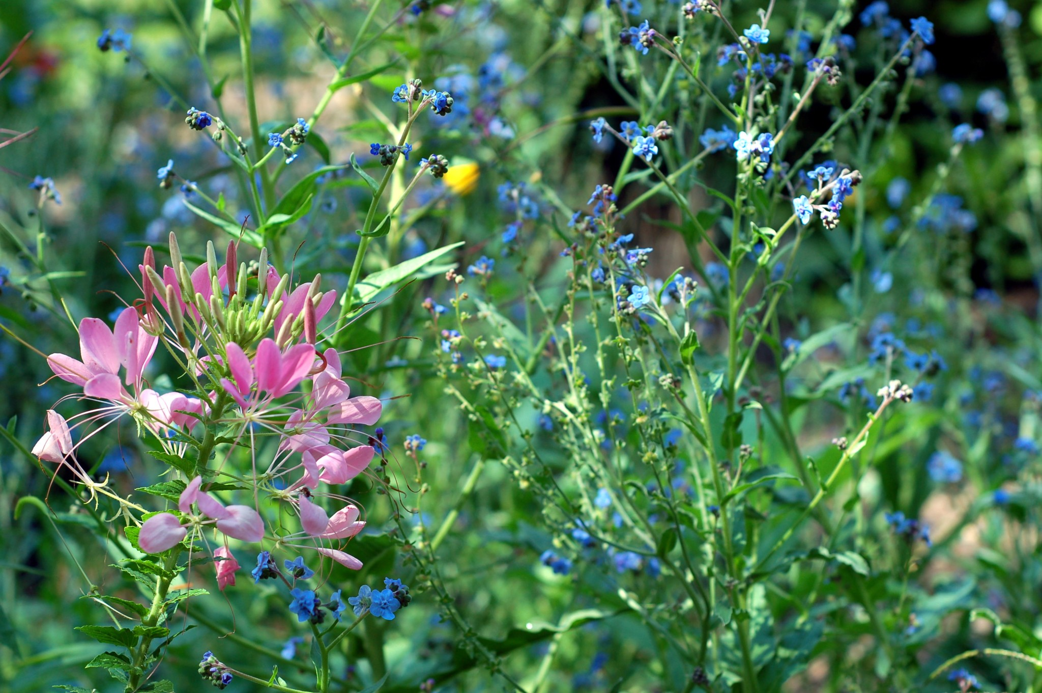 cleome and forget me not_0007