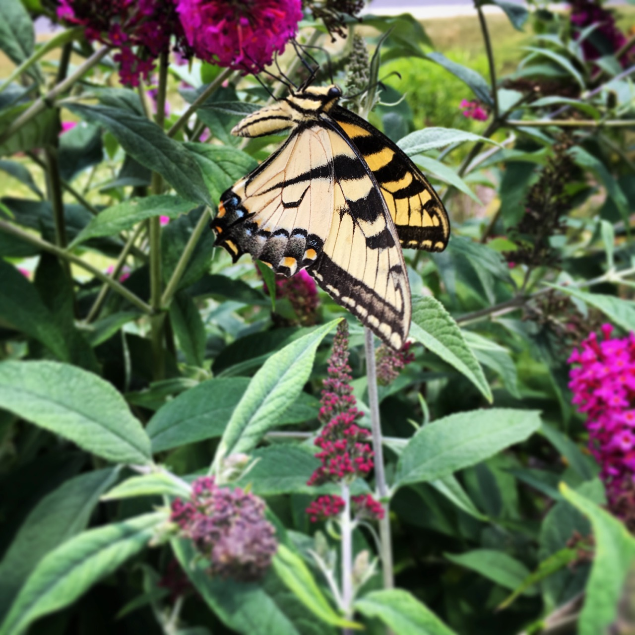 July 15 swallowtail