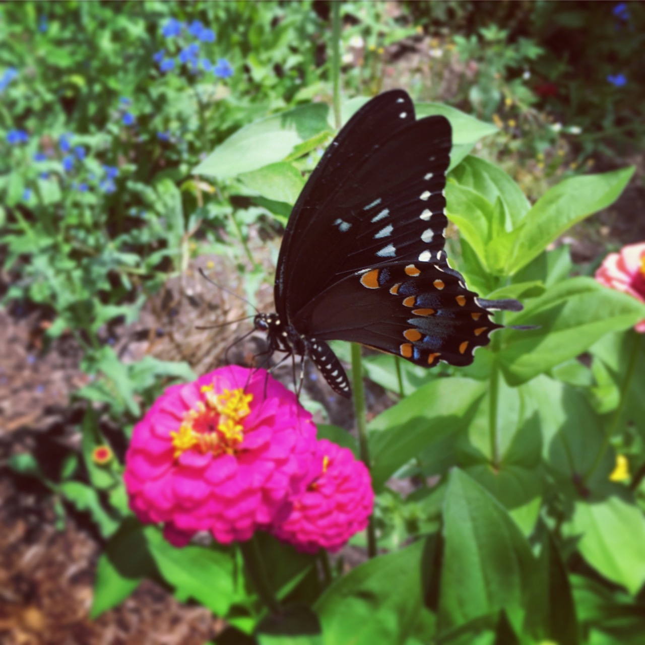 July 19 eastern black swallowtail