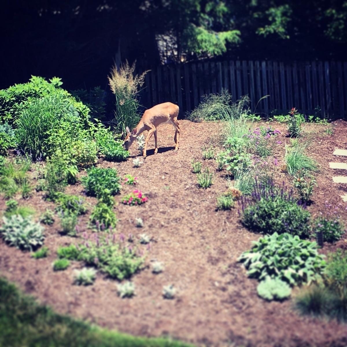 June 11 deer in garden