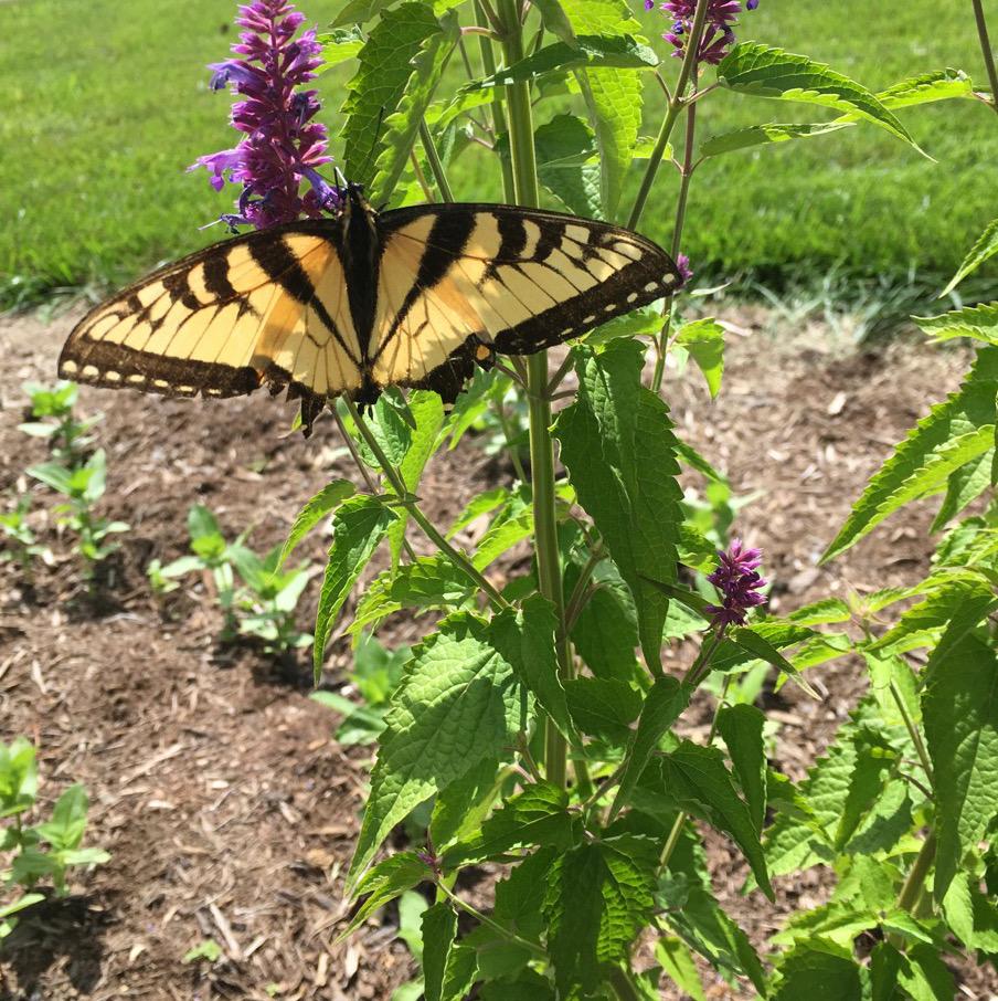 June 11 eastern tiger swallowtail