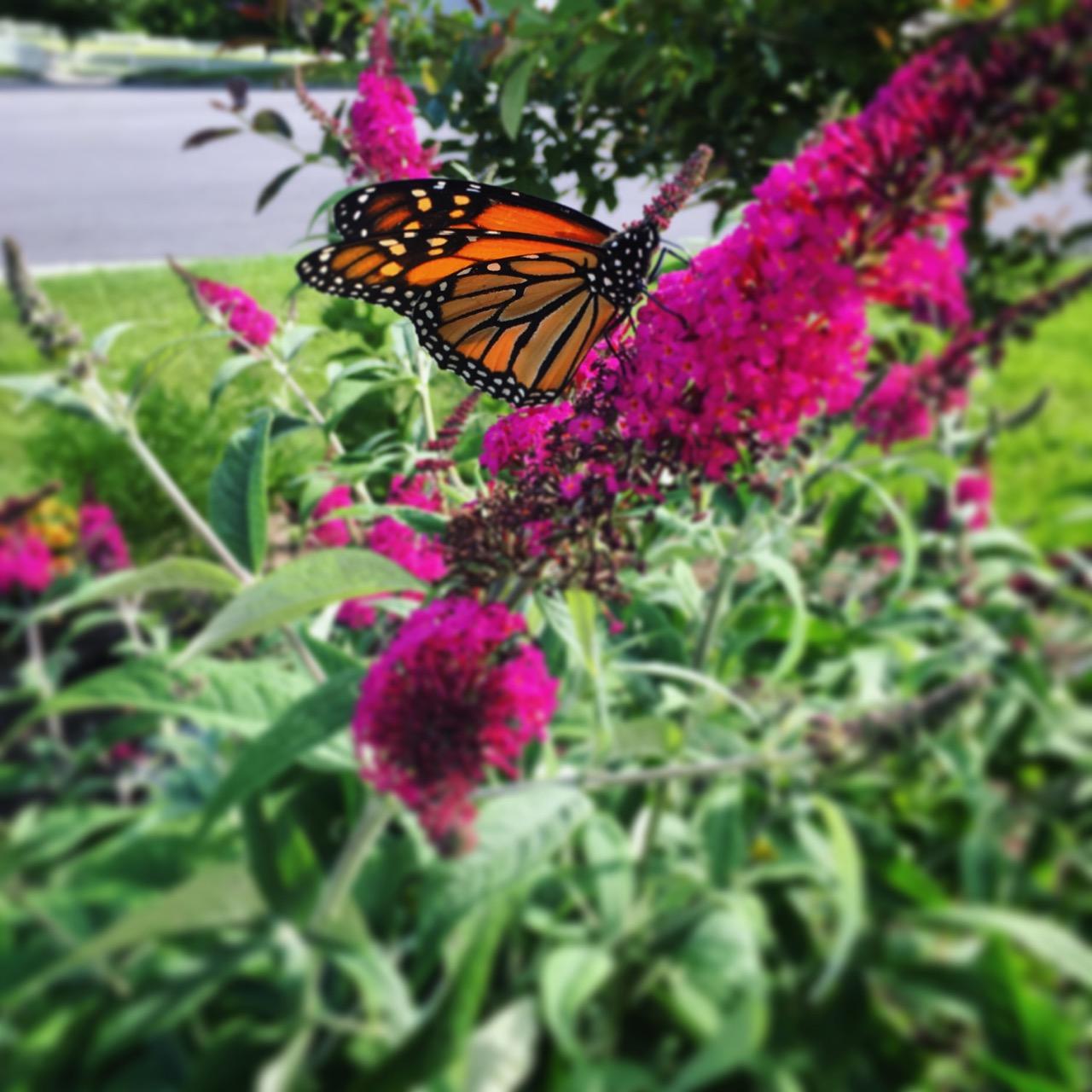 June 21 monarch