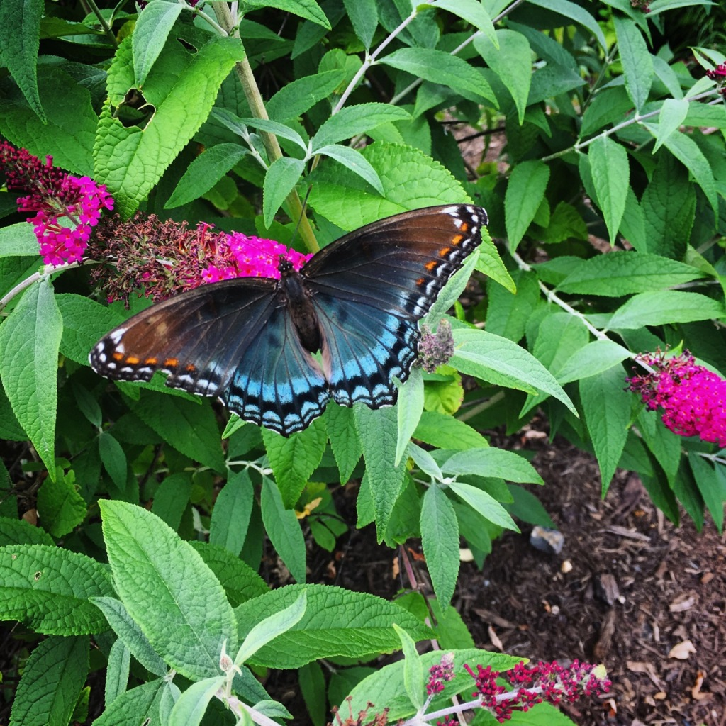 June 25 swallowtail