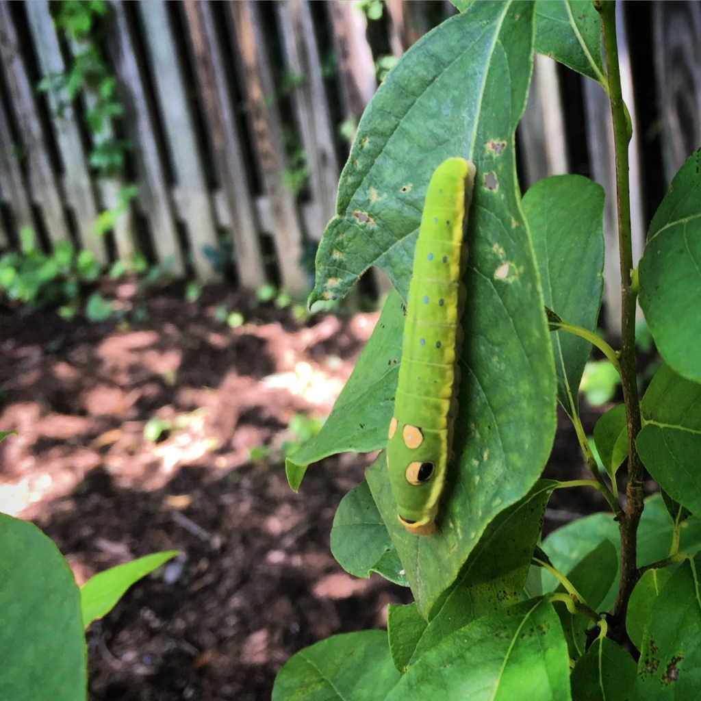 June 26 spicebush swallowtail caterpillar