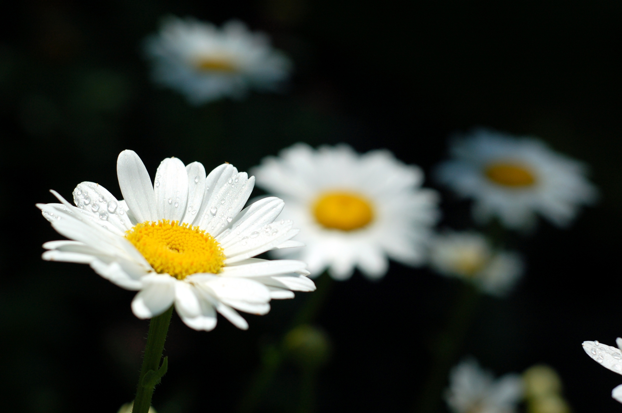 shasta daisy with water droplets_0112