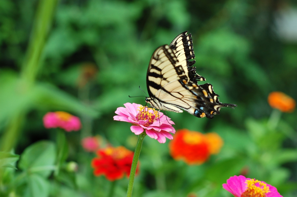 tiger swallowtail on zinnia_0081