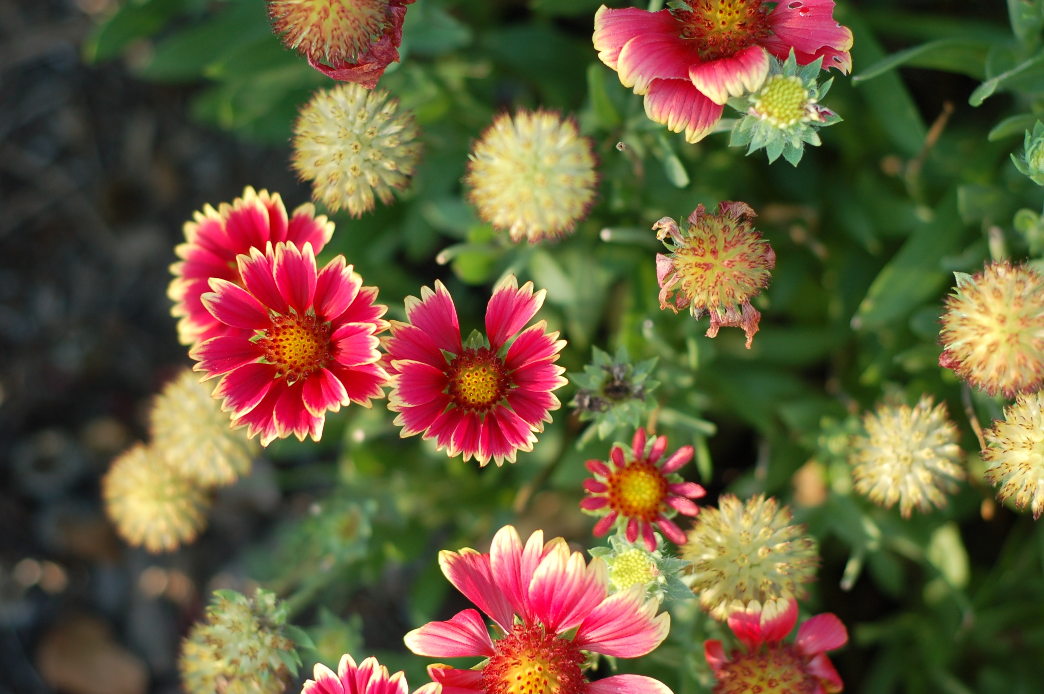 blanketflower_0023